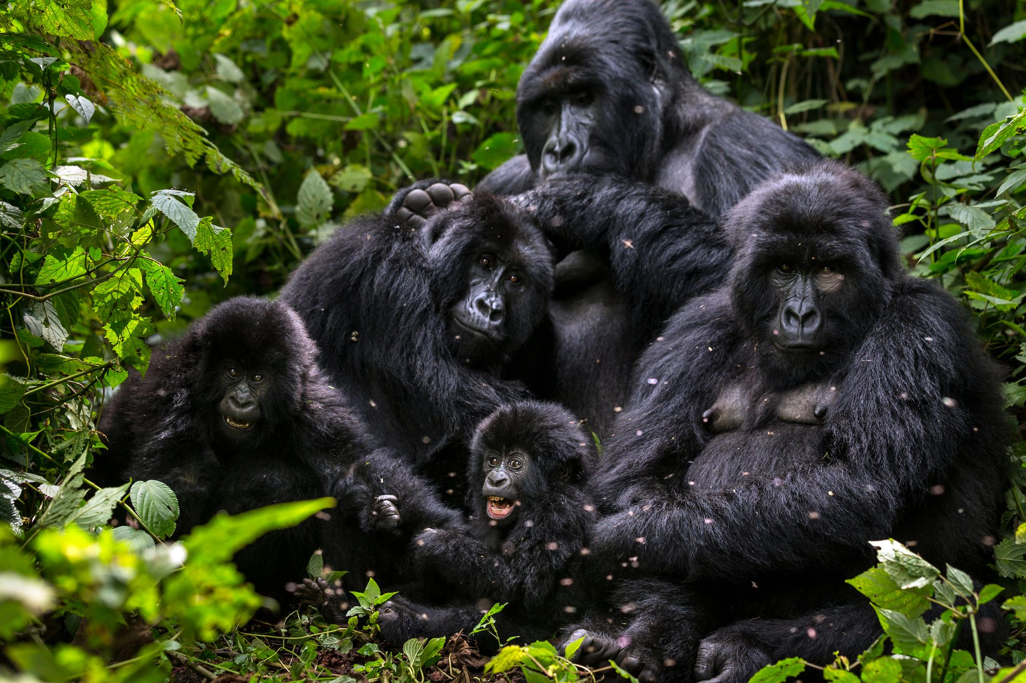 Gorilla-Familie im Virunga Nationalpark, Demokratische Republik Kongo.