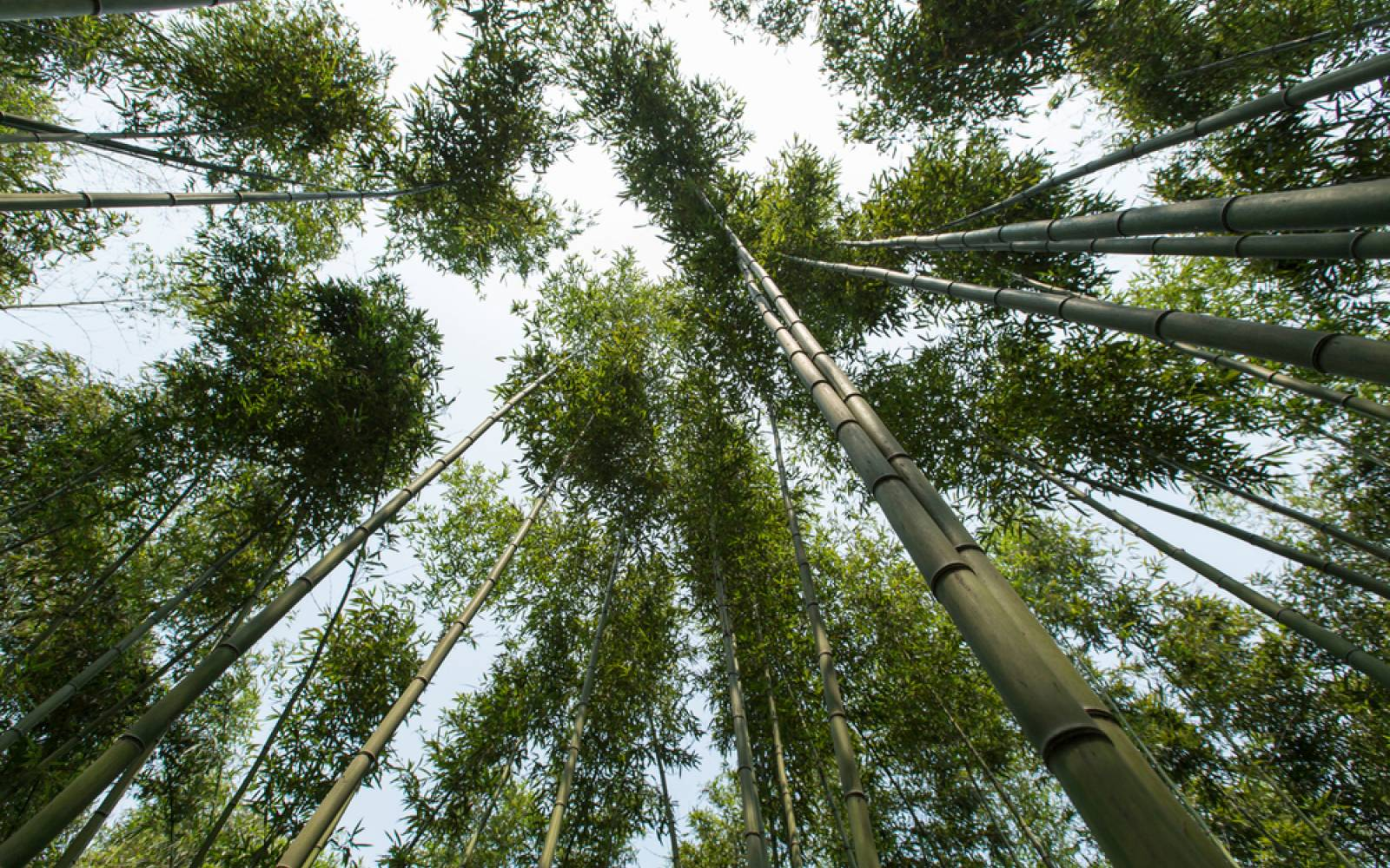 Bamboo forest from forest floor perspective