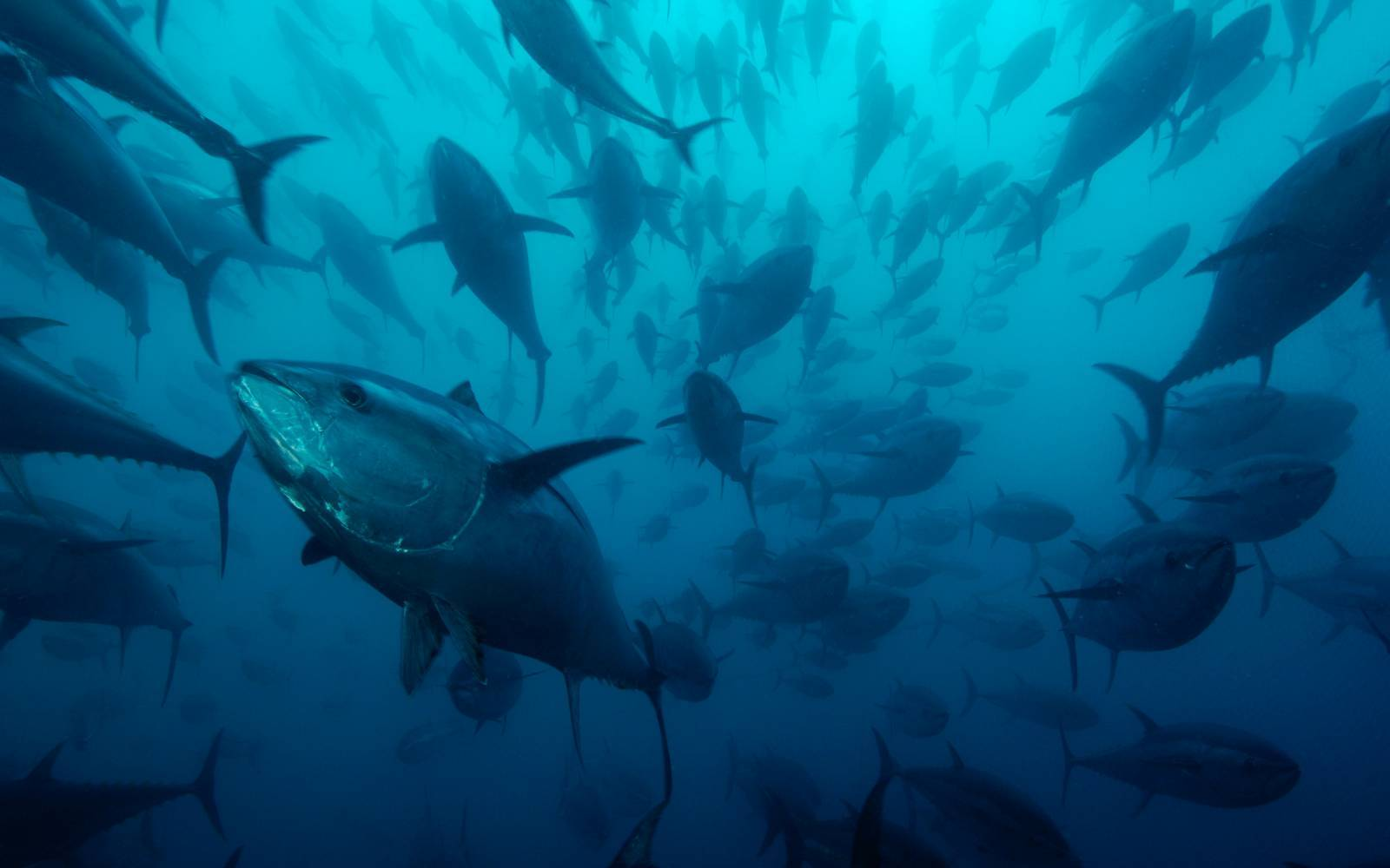 Northern bluefin tuna (Thunnus thynnus) in tuna ranching company's (Ecolo Fish) cages, being fattened for the sushi market, Mediterranean Sea, Spain