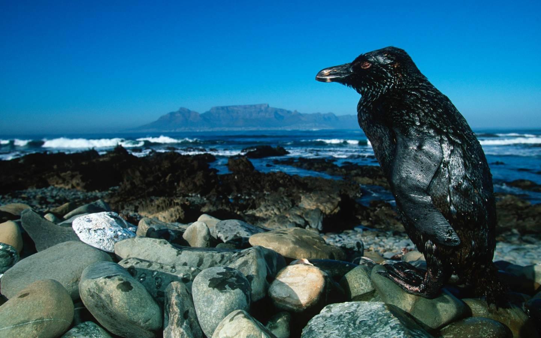 Ein Pinguin mit von Öl verklebtem Fell in Südafrika