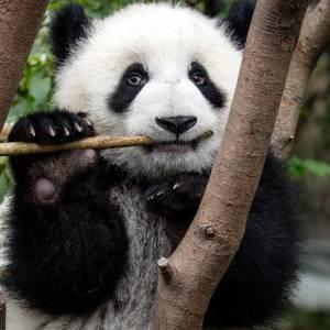 Giant panda (Ailuropoda melanoleuca) eating at the Chengdu Research Base of Giant Panda Breeding in Chengdu, China