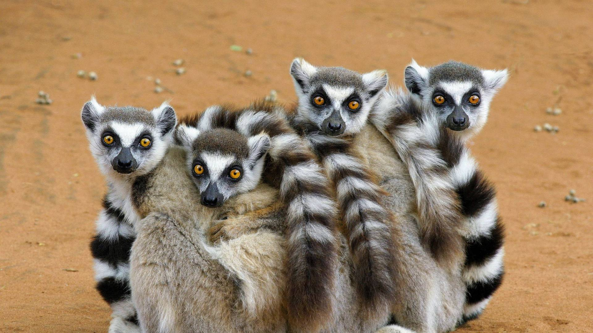 Risultati immagini per lemuri