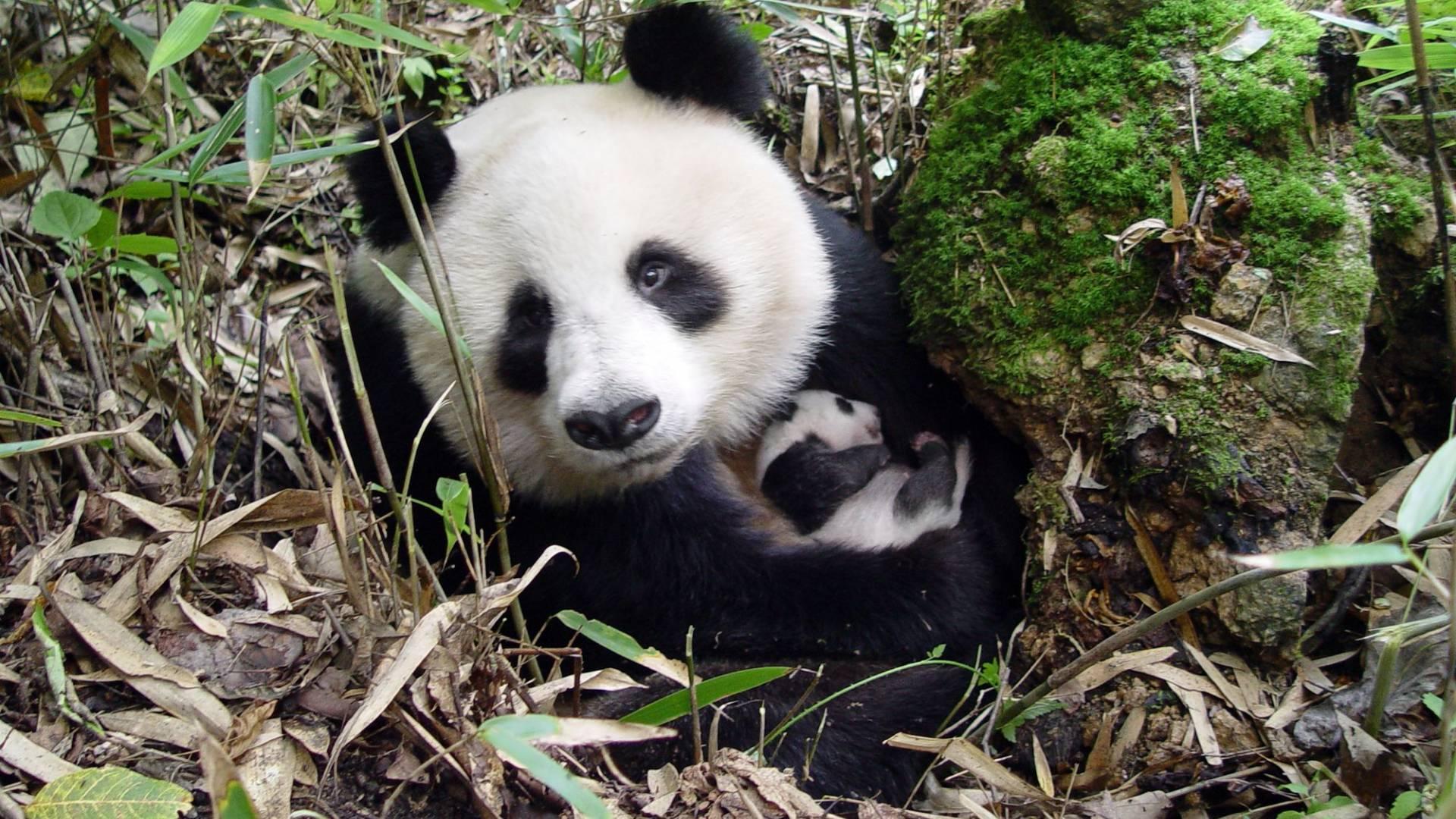 grosser panda liebenswerter vegetarier wwf schweiz. Black Bedroom Furniture Sets. Home Design Ideas
