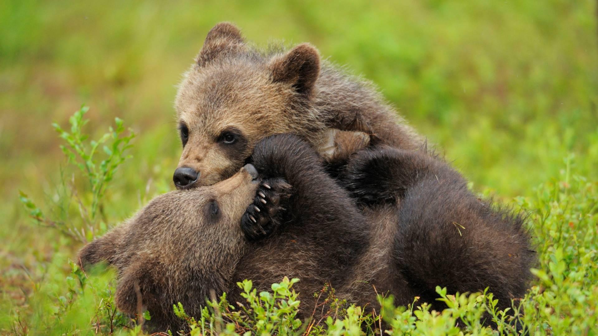 Bildergebnis für bären wwf