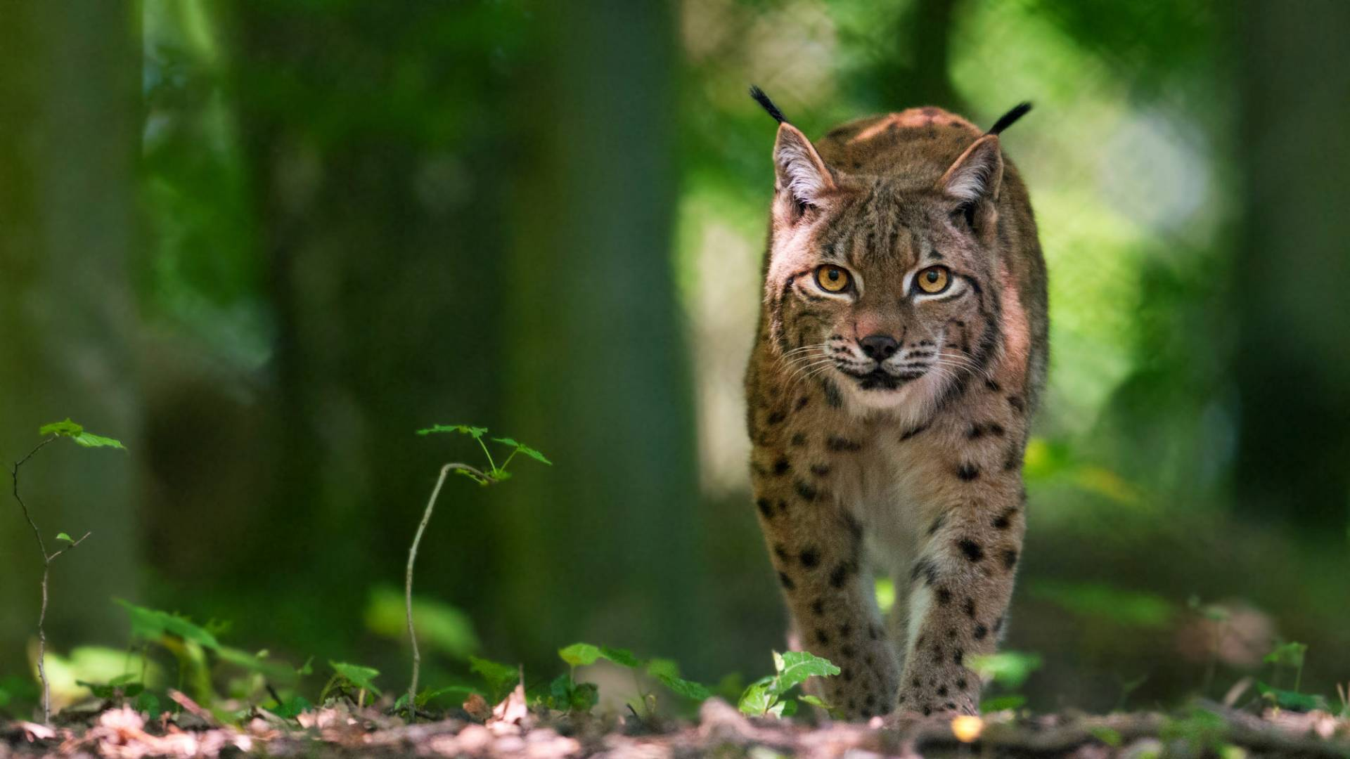 Lynx comme un chat ronronnant